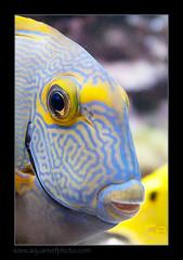 ALAIN2dussumieri6464 (kactusficus) Tags: marine reef aquarium alain captive ecosystem rcifal acanthuridae chirurgien surgeonfish tang acanthurus dussumieri