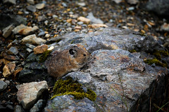 Pika (Mike_Wigg) Tags: rodent pika cute mammal
