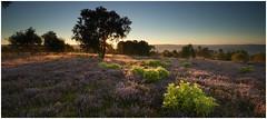 Stanton Moor Sunrise (IanMcConnachie) Tags: earlymorningsunrise stantonmoor heather peakdistrict peakdistrictnationalpark peakdistrictphotography digitalphotography canon trees moor england sunrays summer purpleheather