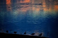 ducks enjoying the sunset (paddy_bb) Tags: paddybb nikond5300 2016 silhouette deutschland wasser sunset schleswigholstein germany water sky seascape lbeck sun