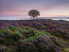 Another Perfect Day (Damian_Ward) Tags: damianward photography ©damianward hallicksholehill newforest hampshire bellheather heather mist morning bracken