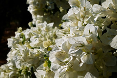 primaveras brancas (Rodrigo Uriartt) Tags: white spring primaveras brancas flowers telemacro magia magic light fujifilme xe2