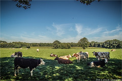 _even_cows_prefer_the_shade (l--o-o--kin thru) Tags: achterhoek shade schatten hotweather