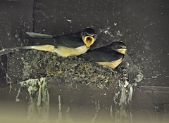 Momma! (Wenspics) Tags: swallow bird feed specanimal