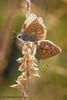 Common Blues 2 (ABPhotosUK) Tags: animals backlighting butterflies canon commonblue dartmoor devon eos7dmarkii invertebrates lepidoptera lycaenidae macro nocrop polyommatusicarus wildlife