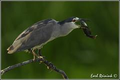 More catfish... (Earl Reinink) Tags: heron wader blackcrownednightheron earl reinink earlreinink nikon catfish hiddzuzdra