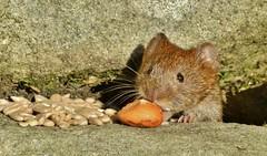 sneaking out of the hole..... (Suzie Noble) Tags: vole bankvole mammal wall strathglass struy stonedyke garden