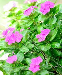 DSC_4276e ~ Pink (BDC Photography) Tags: pipecreek texas usa nikonafnikkor180mmf28difedlens bw72ekr1511xfilter nikon d3 nikond3 pink flowers