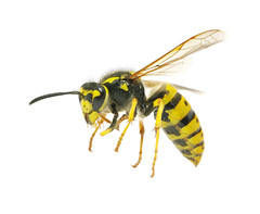 Pests Flying Insects (British_Pest_Control_Association) Tags: animal bee black closeup dangerous detailed fly honey hornet insect isolated jacket macro nature needle sharp small sting stinger striped summer wasp white wild wing yellow ukraine