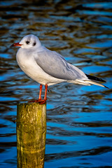 Gull (mdavies149) Tags: gulls water lakes ponds birds bushypark teddington kingston parks michaeldavies nikon d600 uk