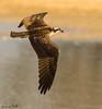 OSPREY (sea25bill) Tags: osprey bird birdofprey slough morning sun summer inflight wildlife animal nature color brown white california