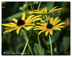 Garden Flowers_DSC0077 photoshop NIK edit  (nkatesphotography) Tags: bowmanstowerwildflowerpreserve nikond2x nikonafs80400mmf4556 scenic landscape outdoors gardens flowers