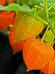 Die Lampionblume (Physalis alkekengi) (duonghoangmai) Tags: flowercolors flowerphotography naturephotography naturelovers naturephotos flowers blumen gardening blossom blte lampionblume