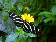 Hortus Botanicus-11 (Quetzalcoatl002) Tags: hortusbotanicus vlindertuin butterflies amsterdam vlinders butterflygarden closeup