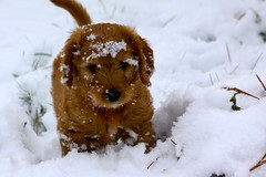 Wrigley's First Snowfall! [Explored] (dangaken) Tags: dog pet goldendoodle golden poodle wrigley snow play animal explore explored dgaken dangaken photobydangaken canon eos 50d canoneos50d 65mm f50 1400s iso100