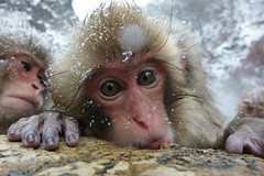 Baby in hot spring (Masashi Mochida) Tags: baby snow japan monkey hotspring nagano jigokudani supershot specanimal