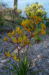 Kangaroo paw (igomak) Tags: red brisbane yellowflowers kangaroopaw australiannative greenflowers anigozanthos haemodoraceae tubularflowers stluciacampus