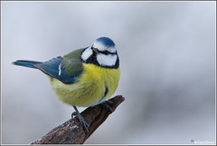 Pimpelmees - Blue Tit (wimzilver) Tags: snow bird sneeuw vogels 7d pimpelmees vogel vogelkijkhut wimzilver canon300mmf4lis14ex vogelhuthanbouwmeester