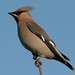 Waxwing Notts WT cpt Margaret Holland
