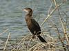Little Cormorant (Phalacrocorax niger) Mohrenscharbe (Werner Witte) Tags: srilanka littlecormorant phalacrocoraxniger muthurajawela taxonomy:binomial=phalacrocoraxniger mohrenscharbe wernerwitte