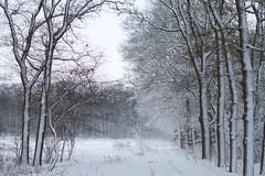 Snow + Wind = Beauty (dvanzuijlekom) Tags: winter snow tree sneeuw arnhem thenetherlands wonderland veluwe 2012 gelderland canonef50mmf18mkii canoneos7d buitenplaatskoningsweg kampkoningswegnoord