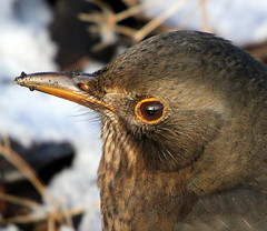 Blackbird Blues (Ger Bosma) Tags: bird kos turdusmerula blackbird songbird merlo merel amsel eurasianblackbird turdidae melro commonblackbird solsort koltrast merlenoir mirlocomn   mygearandmebronze mygearandmesilver rememberthatmomentlevel4 rememberthatmomentlevel1 rememberthatmomentlevel2 rememberthatmomentlevel3 birdofsong img70003afiltered