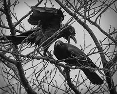Outta my tree (doyleshafer) Tags: park bw tree japan tokyo fight g iii f2 yoyogi crow vr afs d4 200mm tc20e