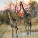 "Giraffe in Okavango Delta, Botswana • <a style=""font-size:0.8em;"" href=""https://www.flickr.com/photos/21540187@N07/8293284407/"" target=""_blank"">View on Flickr</a>"