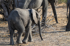 """Baby Elephant in Chobe National Park, Botswana • <a style=""""font-size:0.8em;"""" href=""""https://www.flickr.com/photos/21540187@N07/8293288903/"""" target=""""_blank"""">View on Flickr</a>"""