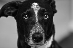 Graying (jasieggs) Tags: portrait dog pets white black cute up animal animals fur nose eyes close whiskers wiskers