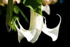 CU758 White Angels Trumpet (listentoreason) Tags: usa white plant flower color nature america canon geotagged unitedstates pennsylvania geocoded favorites places longwoodgardens brugmansia floweringplant solanaceae angiospermae dicot magnoliophyta magnoliopsida angiosperm score35 asterid ef28135mmf3556isusm solanales plantpart eudicot eudicotyledon