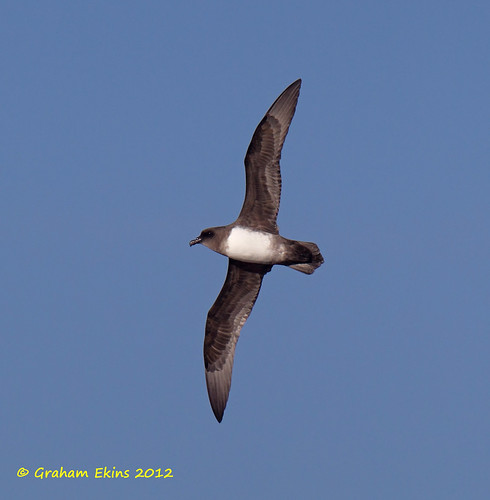 Atlantic Petrel,  Pterodroma incerta,   IUCN Endangered,