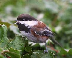 Singing ChickadeeTextured (janruss) Tags: bird texture ngc explore npc chickadee avian chestnutbackedchickadee pareeerica janruss janinerussell