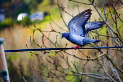 Pigeon Landing (Tabitha Beresford-Webb) Tags: bird birds animal animals fly flying wings nikon pigeon pigeons flight d3100 highqualityanimals