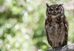 Spotted Eagle Owl (Bryn De Kocks) Tags: wild bird nature birds southafrica owl birdofprey westerncape 400mm spottedeagleowl canon50d