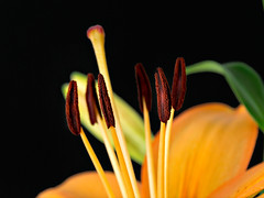 Orange Lily - Explored! (David S Wilson) Tags: uk flowers england flower ely fens 2012 lightroom flowersplants davidswilson panasonicdmcg3 adobelightroom4 mzuiko1250mmlens