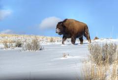 bisonsnowface002 (Deby Dixon) Tags: travel nature landscape photography nationalpark wolf wildlife moose fox yellowstonenationalpark wyoming bison wyo bullelk debydixonphotography