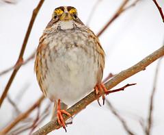 White-throated Sparrow (shelshots) Tags: bird nature closeup eyes sparrow perch whitethroatedsparrow zonotrichiaalbicollis