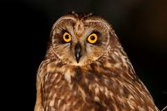 Coruja do nabal (Mago62) Tags: portugal aves ave shortearedowl asioflammeus mariogomes pontadaerva corujadonabal mago62