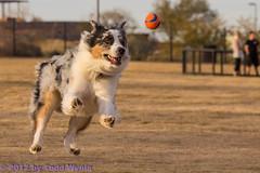 Meet Jasper Jetson (Jasper's Human) Tags: park dog ball fly jump aussie australianshepherd
