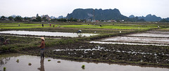 Rice Paddies with Limestone Cliffs (William J H Leonard) Tags: winter people panorama cliff mist water bike bicycle misty clouds landscape asian island islands asia southeastasia vietnamese rice cloudy farmers planters farm farming bikes cliffs vietnam plantation limestone ricepaddies ricepaddy planting northernvietnam conicalhat limestonerocks limestonecliffs earthasia vietnamricepaddies