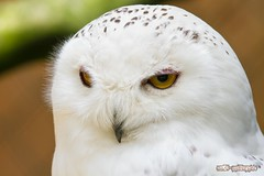 Schneeeule / Snowy Owl (burnett0305 - Thanks for over 175.000 views!) Tags: bird birds canon bayern bavaria 7d vgel vogel bubo snowyowl schneeeule nycteascandiaca strigiformes eulen uhus buboscandiaca buboscandiacus ausrstung canonef100400mmf4556lisusm canoneos7d vogelparkabensberg landkreiskelheim canon7d mygearandme mygearandmepremium mygearandmebronze mygearandmesilver mygearandmegold mygearandmeplatinum mygearandmediamond rememberthatmomentlevel4 rememberthatmomentlevel1 rememberthatmomentlevel2 rememberthatmomentlevel3 rememberthatmomentlevel5 rememberthatmomentlevel6