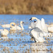 Tundra Swans in rice country