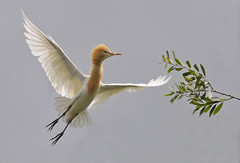Cattle Egret (maureen_g) Tags: bird nature wildlife flight australia nsw centralcoast hunterregion hunterwetlands