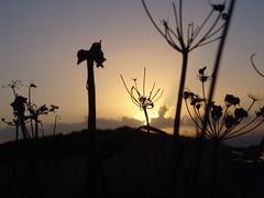 Sunset (lcfcian1) Tags: flowers sunset silhouette cornwall shadows dusk mullion predannack