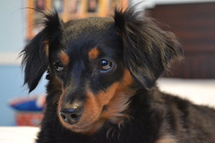 Bitsy (knightdust5) Tags: christmas cold closeup furry break dachshund whiskers smalldog dognose bitsy blackandbrown dogears dogeyes