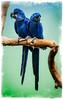 I shall say it over and over again (alan shapiro photography) Tags: bird love birds animals wildlife macaw macaws birdwatcher naturesfinest alanshapiro animalattraction bluemacaws birdportraits ashapiro515 alanshapirophotography finerfeatheredfriends macawsholdinghands macawsinlove