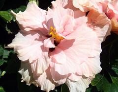 Pink Flower (Gartenzauber) Tags: macro sony fuerteventura hibiscus blume blte hibiskus spanien doublefantasy floralfantasy amazingdetails fleursetpaysages silveramazingdetails goldamazingdetails platinumamazingdetails