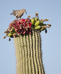 White-winged Dove enjoying sticky Saguaro blossoms (cocoi_m) Tags: red arizona cactus bird nature tucson blossom dove aves saguaro whitewingeddove zenaidaasiatica carnegieagigantea
