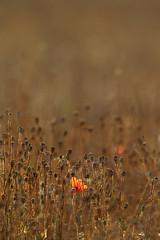 11GP2220 (SimplyNicePhoto) Tags: grass sunshine rural landscape landwirtschaft poppy grasses gras agriculture elm landschaft weite straws sonnenschein klatschmohn halme graeser width wildherbs laendlich wildkraeuter papaverroeas elmrand beievessen inevesham wildraeuter